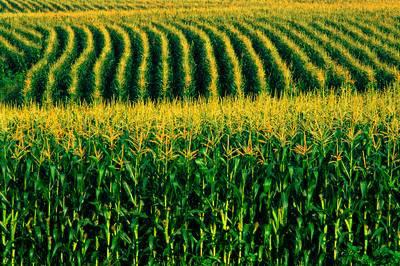 Minas Gerais colherá safra recorde de milho este ano