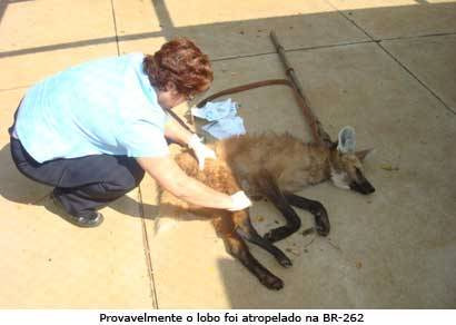 Lobo-guará é encontrado ferido e já recebe tratamento