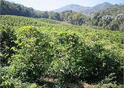Produtor de café deve providenciar laudo técnico sobre granizo