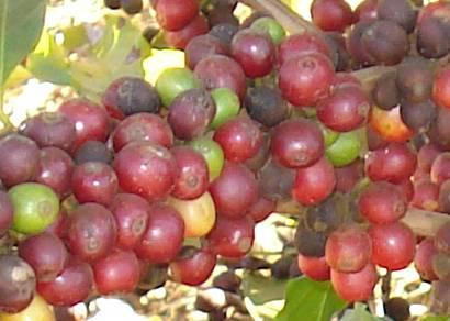 Minas é pioneira na certificação de propriedades cafeeiras
