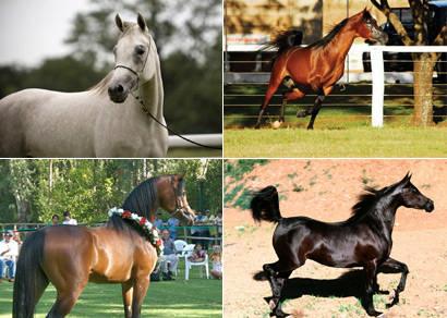 Exposição do Cavalo Árabe acontece neste fim de semana no Grande Hotel