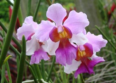 Mostra de Orquídeas no próximo fim de semana