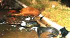 Nove vacas causam acidente na BR-262