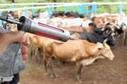 Pecuaristas mineiros vacinam bovinos contra febre aftosa em maio