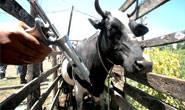 Minas Gerais supera meta estabelecida para vacinação contra a febre aftosa