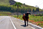 Animal bovino solto na rodovia causa acidente