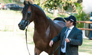 Cavalo Árabe realizará 7ª Exposição Tauá em Araxá