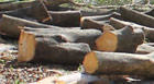 Retirada das árvores no Barreiro é feita com autorização do IPDSA
