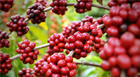 Cultivo de café e oliveira é tema do Dia de Campo em Araxá