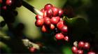 Araxá sedia em agosto o 7º Simpósio Pesquisa dos Cafés do Brasil