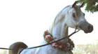 Araxá recebe VI Exposição Ouro de Minas e Open House de Cavalo Árabe