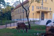 VOCÊ NO DIÁRIO: Cavalo pastando no novo jardim da Igreja do Barreiro