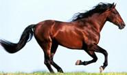 Exposição Ouro de Minas do Cavalo Árabe acontece na próxima semana