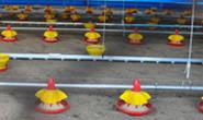 Projeto Granja inaugura mais um galpão de avicultura