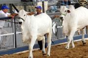 IMA torna obrigatório o exame de brucelose para animais em leilões de rebanho geral