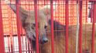 Lobo-guará é visto no Centro e capturado pelos Bombeiros