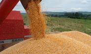 Exportações mineiras de milho em ascensão