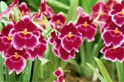 Exposição de Orquídeas em Araxá na próxima semana