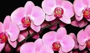 Araxá recebe exposição de orquídeas entre os dias 8 e 10