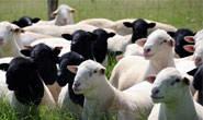 Minas elimina ICMS para ovinos e caprinos