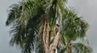 PROMOÇÃO: Prefeitura oferece palmeiras à população
