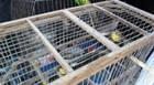 PM apreende pássaros da fauna silvestre que estavam em cativeiro