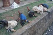 Polícia Militar localiza rinha de galos no município de Perdizes