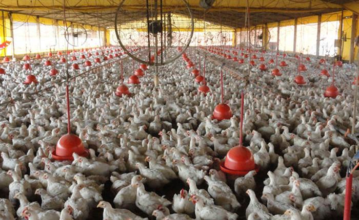 IMA publica portaria com ações preventivas à gripe do frango