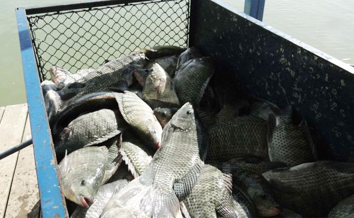 Quaresma aquece produção de peixes e vendas crescem até 40% em Minas Gerais