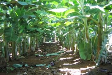 IMA reforça vigilância para evitar a entrada de bananas com sigatoka negra no Estado
