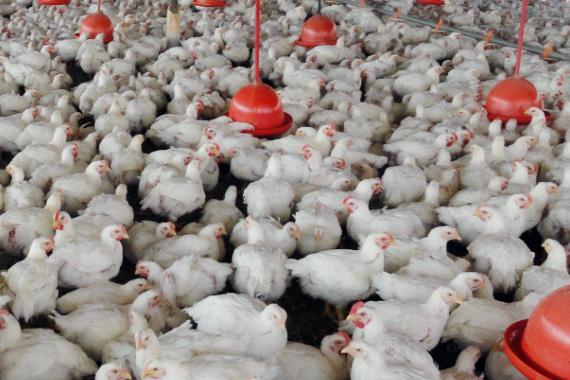 IMA estabelece normas para a fiscalização da adição de água em frangos e do congelamento de pescados