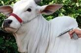 Vacinação de bovinos e búfalos contra a febre aftosa em MG começa na próxima terça, 1º de maio