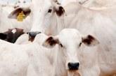 Termina dia 31 o prazo para vacinação de bovinos e bubalinos contra a febre aftosa