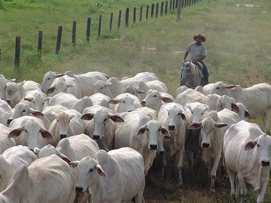 Segunda etapa da vacinação do gado contra aftosa em Minas começa na próxima quarta