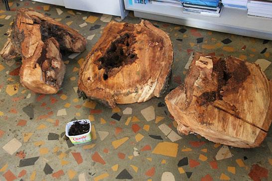 IPDSA conclui laudo técnico de árvores próximas ao Cemitério das Paineiras