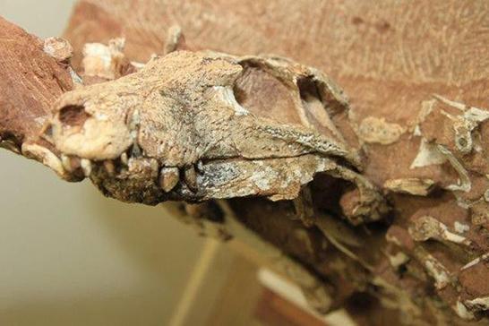 UFTM apresenta fóssil de crocodilo encontrado no Triângulo Mineiro 1