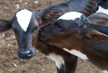 Vacinação do gado contra febre aftosa começa dia 1º de novembro