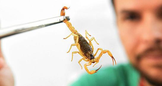 Ministério da Saúde alerta sobre picadas de escorpião